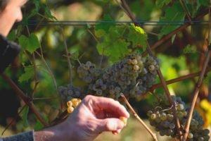 Raisins et Vin Saumur